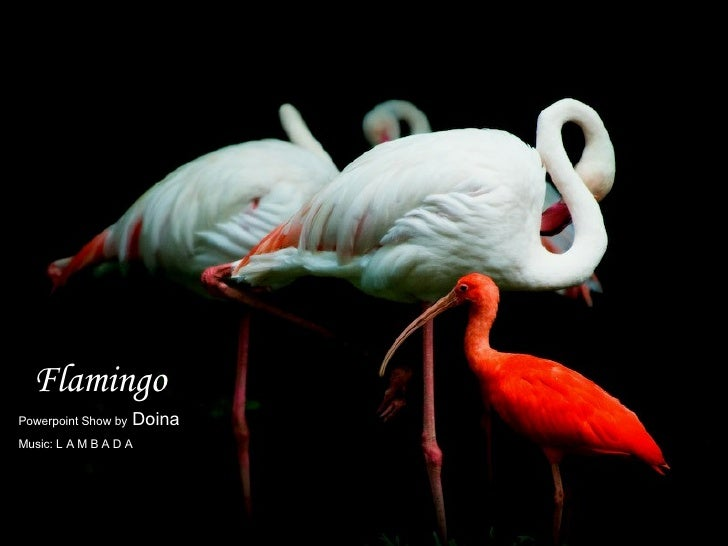 Flamingo Powerpoint Show by  Doina Music: L A M B A D A