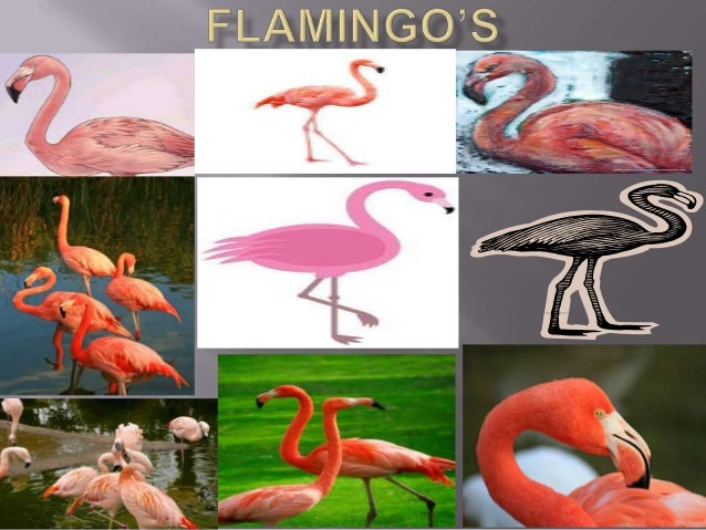  There are more plastic flamingos in the USA than real ones.  Flamingos are famous for their bright pink. feathers.  Th...