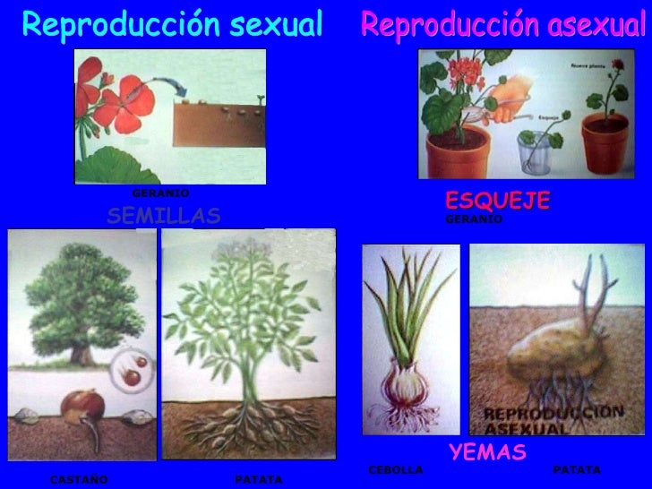 El geranio se reproduce sexualmente o asexualmente