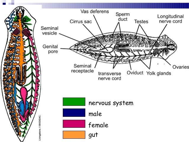 Phylum platyhelminthes fasciola hepatica ccuart Gallery