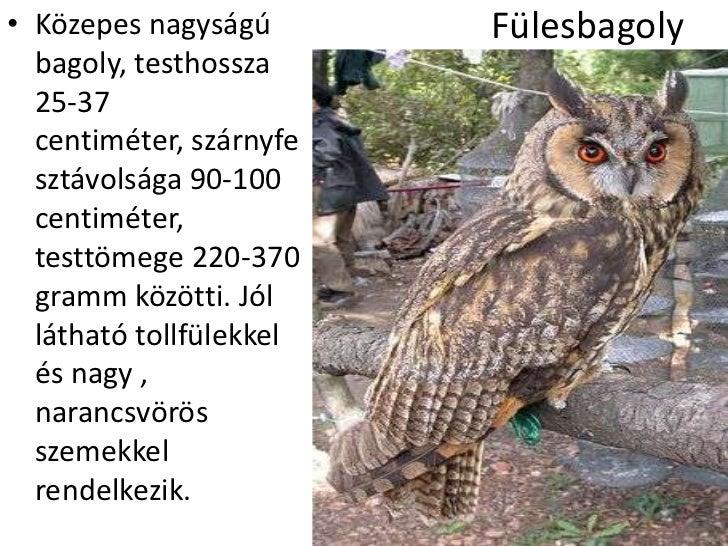 • Közepes nagyságú       Fülesbagoly  bagoly, testhossza  25-37  centiméter, szárnyfe  sztávolsága 90-100  centiméter,  te...