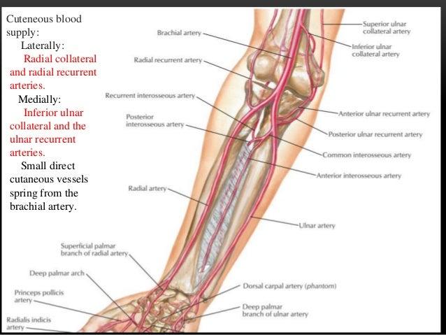 Flexor compartment of forearm
