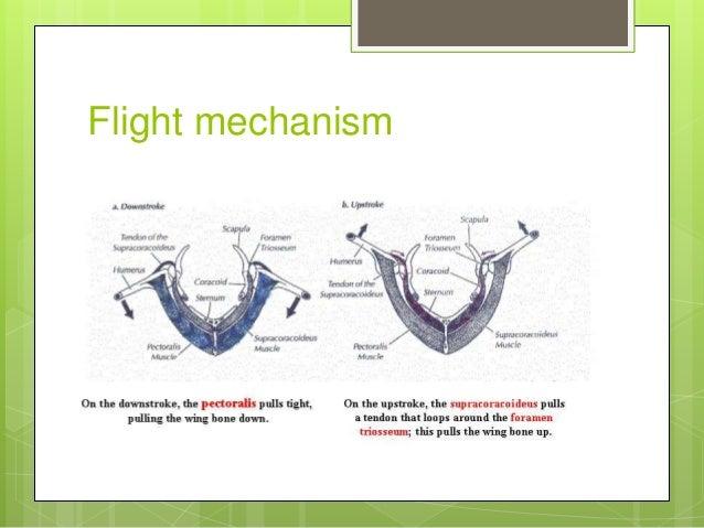 bird flight diagram flight adaptation and mechanism of flight in birds  flight adaptation and mechanism of