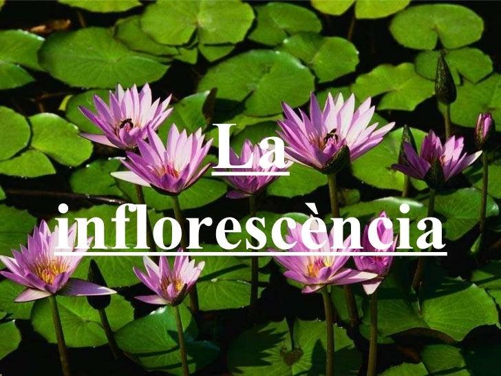 La inflorescència