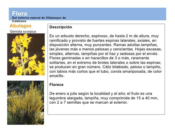 Abulagas Genista scorpius Descripción Es un arbusto derecho, espinoso, de hasta 2 m de altura, muy ramificado y provisto d...