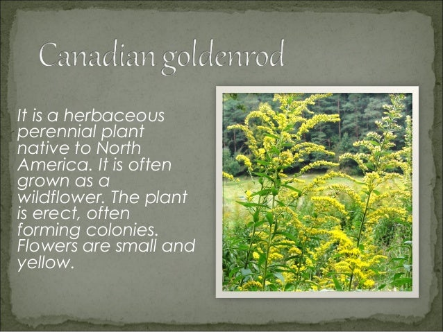 It is a flowering plantin the familyAsteraceae, which isgrown in temperateregions of theNorthern Hemisphere.You can see it...