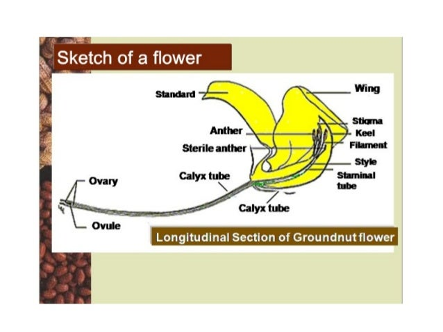 Floral biology and crossing techniques in groundnut 18 ccuart Image collections