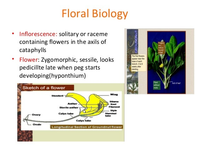Floral biology and crossing techniques in groundnut checking for success 31 ccuart Images