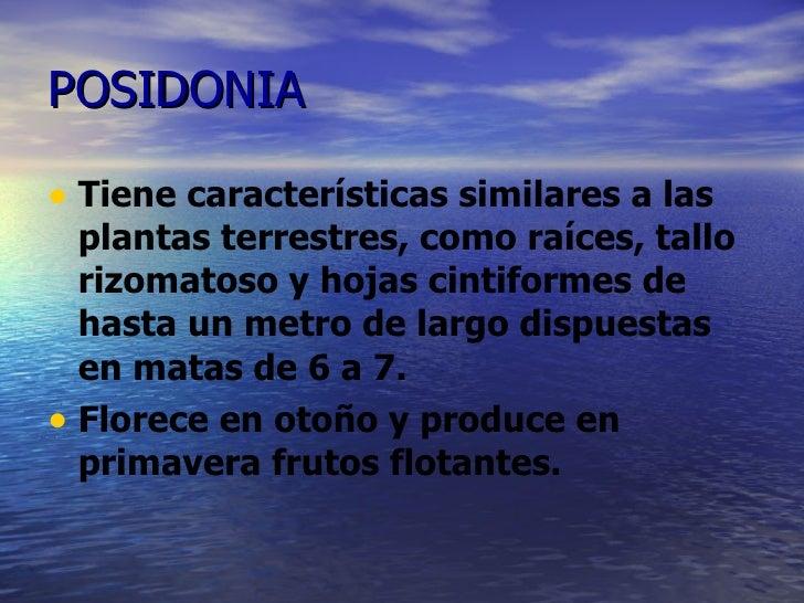 POSIDONIA <ul><li>Tiene características similares a las plantas terrestres, como raíces, tallo rizomatoso y hojas cintifor...