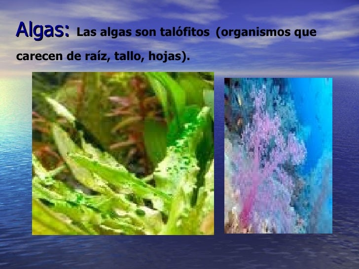 Algas:  Las algas son talófitos   (organismos que   carecen de raíz, tallo, hojas).