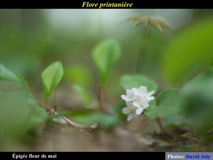 Flore printanière Photos:  David Joly Épigée fleur de mai