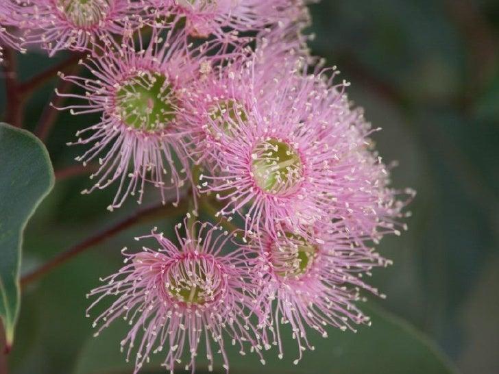 Flores ex ticas de australia for Plantas exoticas online