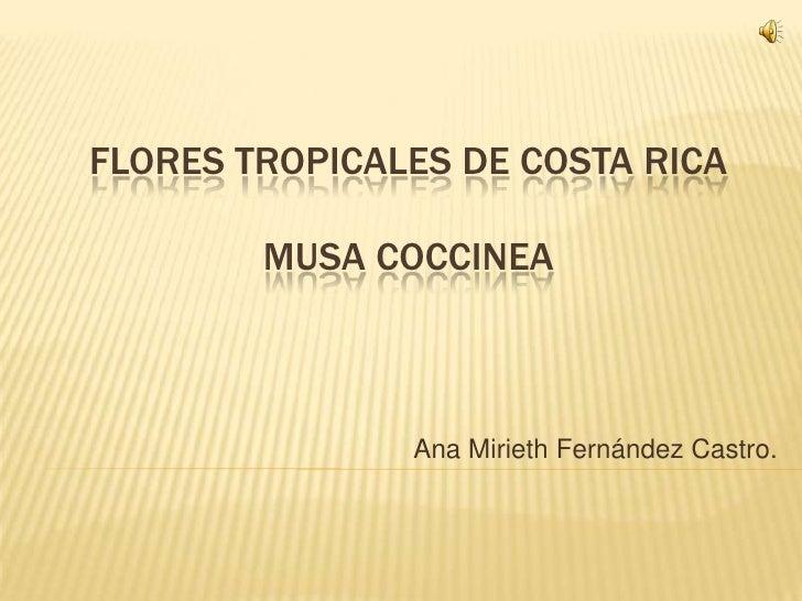 FLORES TROPICALES DE COSTA RICA        MUSA COCCINEA               Ana Mirieth Fernández Castro.