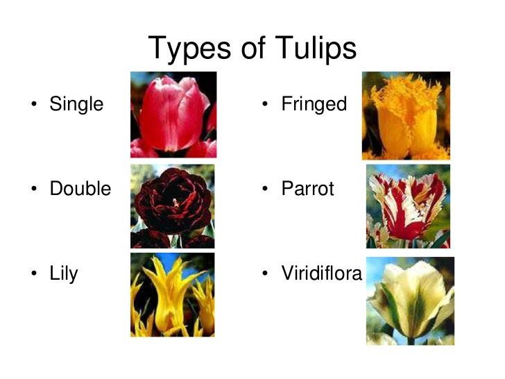 Types of Tulips• Single           • Fringed• Double           • Parrot• Lily             • Viridiflora