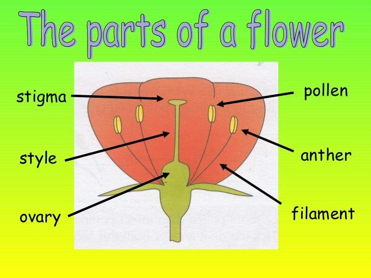 The parts of the flowers the parts of a flower stigma style ovary anther filament pollen ccuart Image collections
