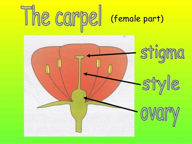 stigma style ovary anther filament pollen