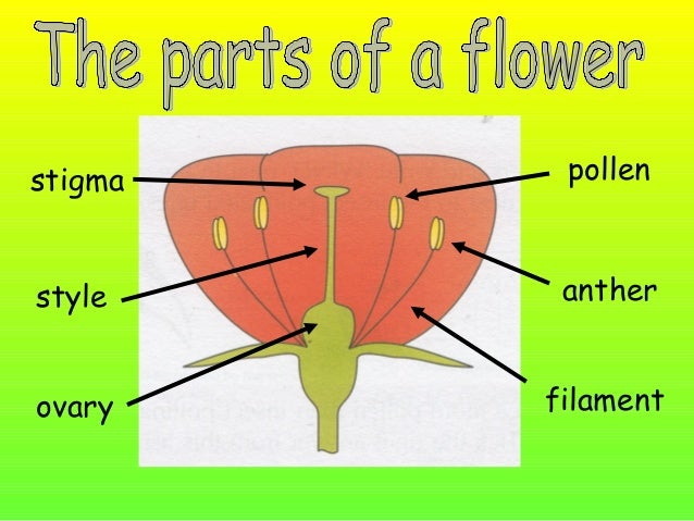 •We know that plants produce flowers which have male and female organs. •We know that seeds are formed when pollen from th...