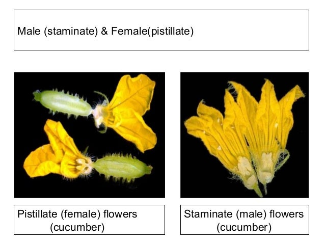 Cross pollination in unisexual flowers