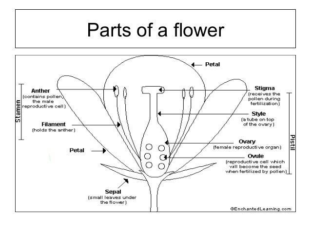 Flower structure and pollination mechanisms 19 ccuart Images