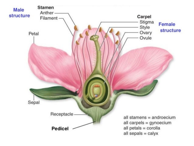 Flower structure and pollination mechanisms parts of a flower mightylinksfo