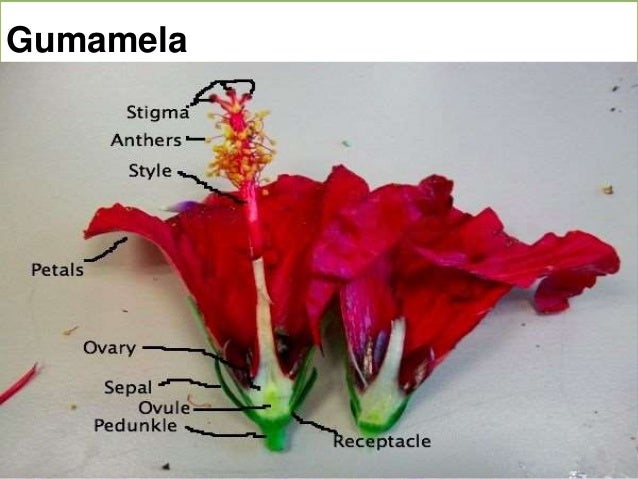 Diagram showing parts of a hibiscus flower trusted wiring diagram diagram showing parts of a hibiscus flower images gallery ccuart Gallery