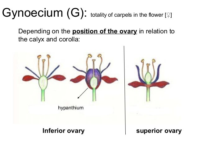 Flower morphology ccuart Image collections
