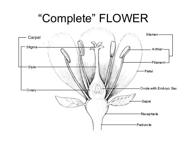Flower morphology complete flower carpel ccuart Choice Image