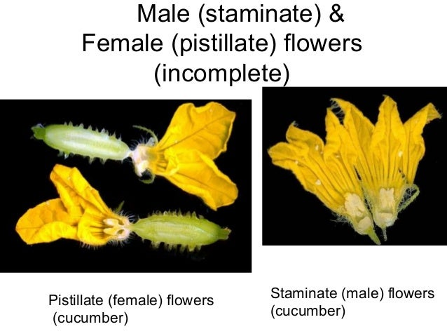 Flower morphology flower diagram 4 male staminate ccuart Choice Image