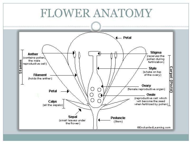 Flowers 4 flower anatomy ccuart Image collections