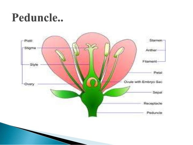 Flowers parts and functions example petunias 26 d dioecious staminate and pistillate flower ccuart Choice Image