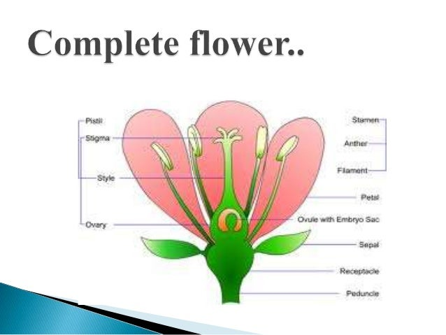 Simple labeled diagram of a complete flower electrical work wiring flowers parts and functions rh slideshare net cool simple flower diagram composite flower diagram ccuart Image collections