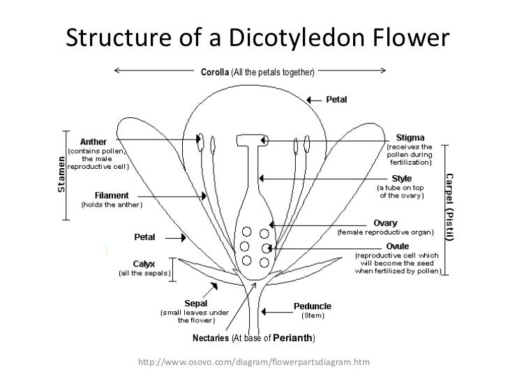 Flower structure pollination fertilization structure of a dicotyledon flower ccuart