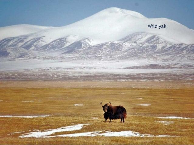 Distribution of yak (and yak hybrids)