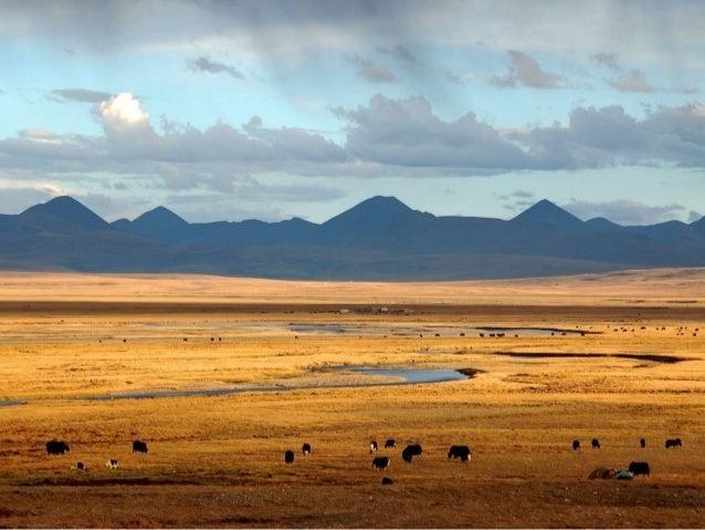 Tibetan wild ass (kiang)