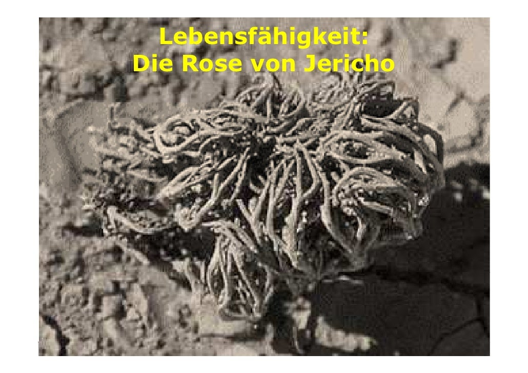 Lebensfähigkeit: Die Rose von Jericho         w w w . z u k u n f t s b e r a t e r. a t