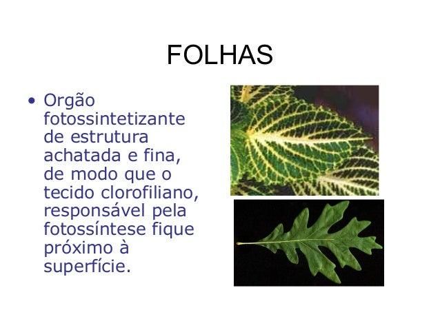 FOLHAS • Orgão fotossintetizante de estrutura achatada e fina, de modo que o tecido clorofiliano, responsável pela fotossí...