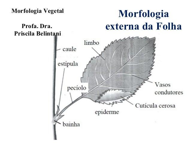 Morfologia Vegetal Profa. Dra. Priscila Belintani  Morfologia externa da Folha