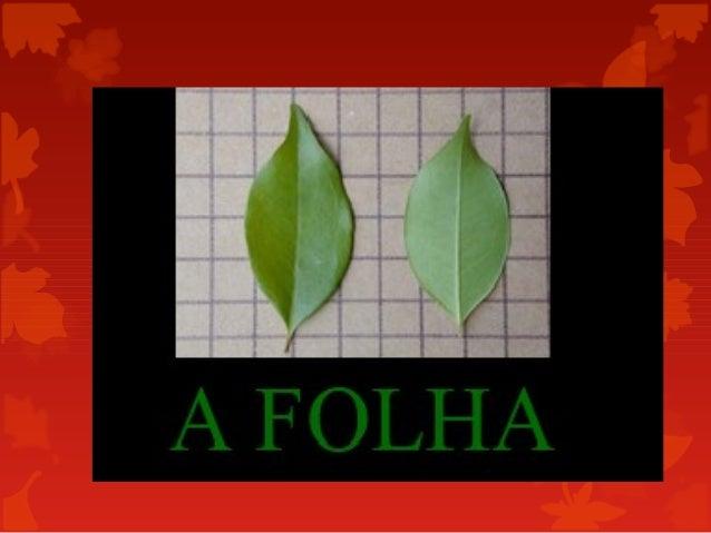  As folhas são o principal local da fotossíntese e da evapotranspiração (perda da água por evaporação pela cutícula dos e...