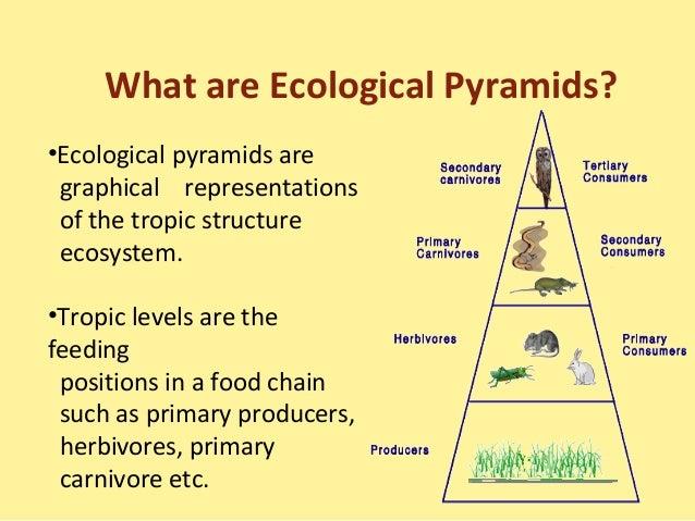 food chains food web ecological pyramids Food chains, food webs and ecological pyramids in an ecosystem, plants capture the sun's energy and use it to convert inorganic compounds into energy-rich organic compounds this process of using the sun's energy to convert minerals (such as magnesium or nitrogen) in the soil into green leaves, or carrots, or strawberries, is called photosynthesis.