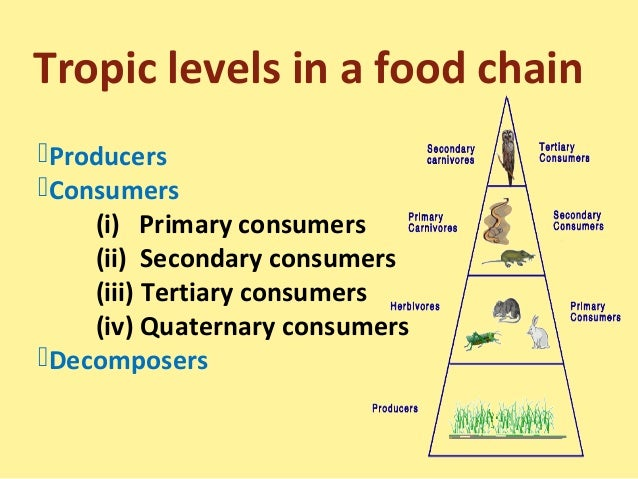 Food Chainfood Web And Ecological Pyramids
