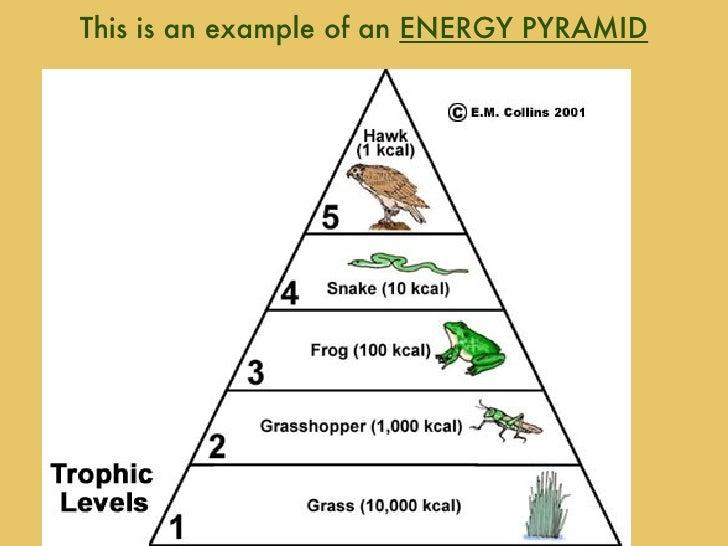 Food Chain Pyramid Seroton Ponderresearch Co