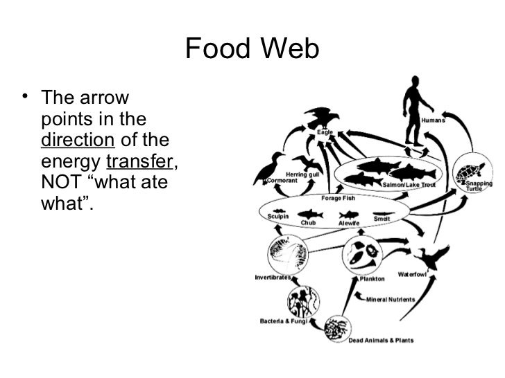 Food chains and webs presentation