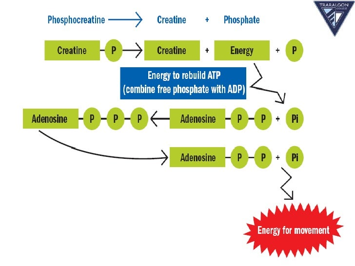 resynthesis of atp As the name suggests the atp-pc system consists of adenosine triphosphate (atp) and phosphocreatine (pc) this energy system provides immediate energy through the.