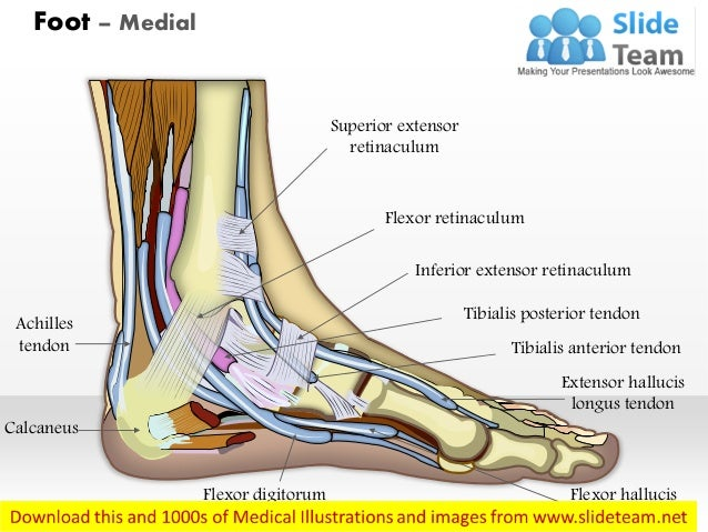Foot medial medical images for power point