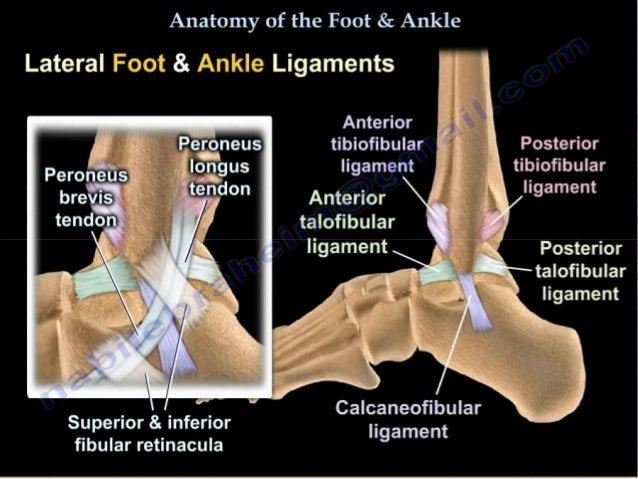 Foot Radiological Anatomy Shorouk Zaki