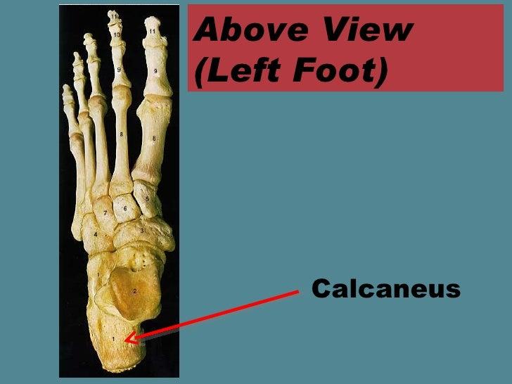 Foot Anatomy Ppt