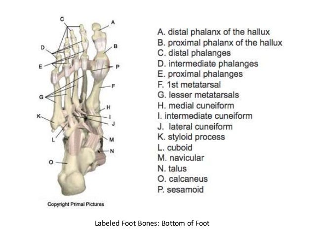 Foot and ankle bones anatomy