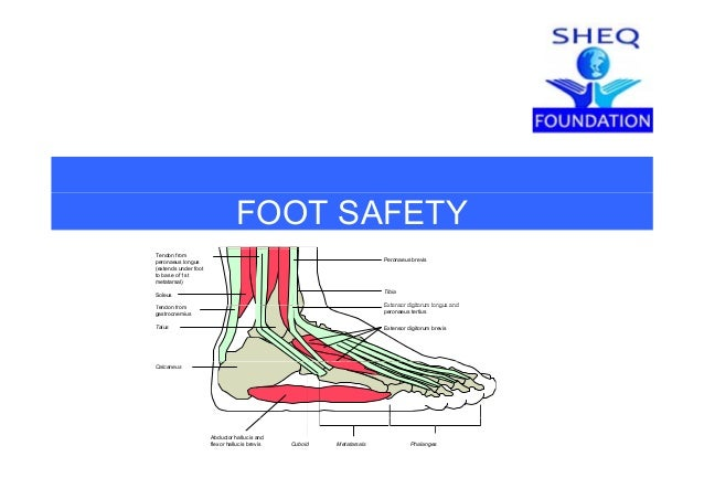 FOOT SAFETY Tibia Soleus Extensor digitorum longus andT d f Tendon from peronaeus longus (extends under foot to base of 1s...