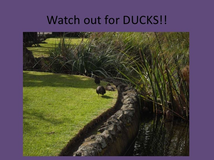 Watch out for DUCKS!!<br />