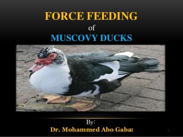 1 FORCE FEEDING of MUSCOVY DUCKS By: Dr. Mohammed Abo Gabal